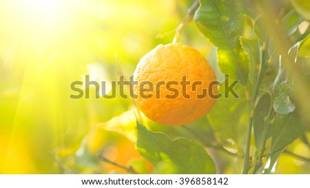 Ripe oranges or tangerines hanging on a tree. Beautiful Healthy organic juicy orange growing in Sunny Orchard