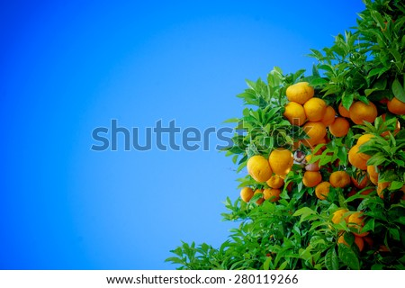 Ripe oranges. oranges on a tree - stock photo