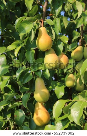 Ripe organic cultivar pears in the summer garden