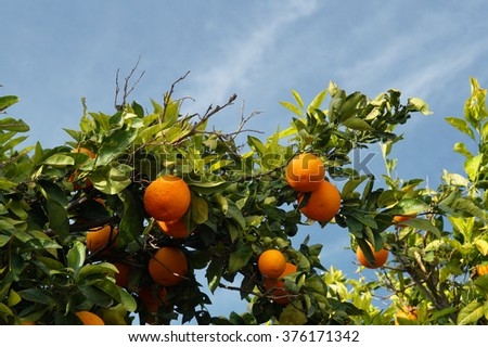 Ripe organic oranges on the tree in sunny day.             - stock photo