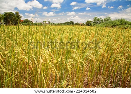 Ripe paddy rice field at harvest against blue sky - stock photo