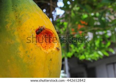 Ripe papaya on the tree. Close up Traces of insect eat ripe papaya on the tree. Select focus front papaya soft-focus blurred background. - stock photo