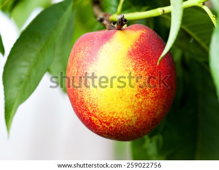 Ripe peaches hang on a tree between green leaves  - stock photo