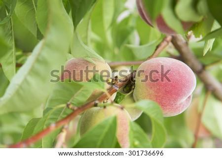 ripe peaches on a tree - stock photo