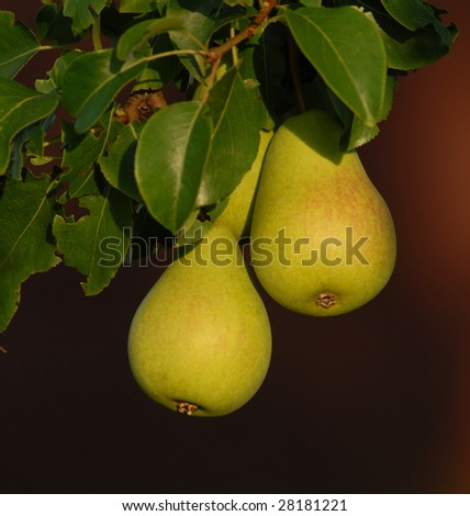 ripe pears on the branch on dark background - stock photo