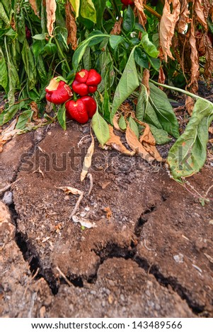Ripe peppers left to rot in a greenhouse on a sabbatical year - stock photo