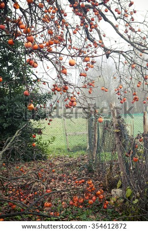 Ripe persimmons on the branches of the tree in a garden in autumn - stock photo