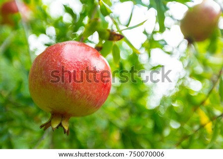 ripe pomegranate on the tree