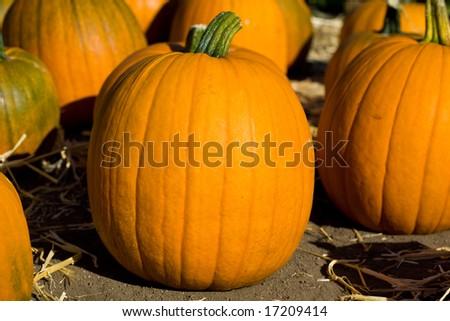 Ripe pumpkins on the farm - stock photo