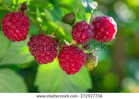 Ripe raspberry in the fruit garden - stock photo
