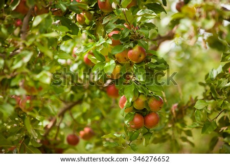 Ripe red apples hanging on a branch at farm. Also available in vertical format. - stock photo