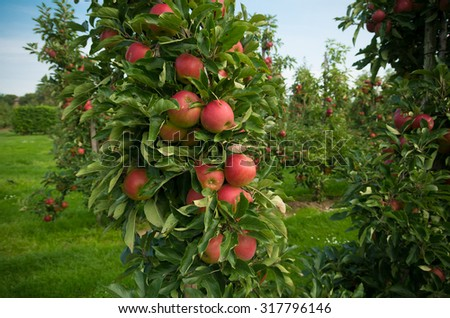 ripe red apples in an orchard in the netherlands - stock photo