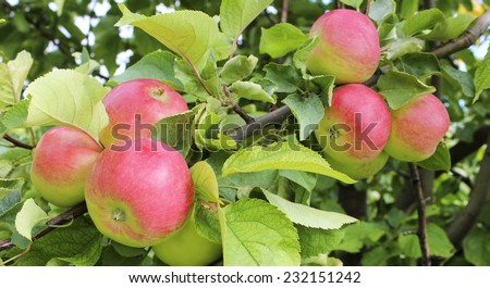 Ripe red apples on a branch close-up - stock photo