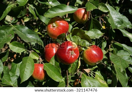 Ripe red apples on a tree                                - stock photo