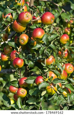 Ripe red apples on the tree . - stock photo