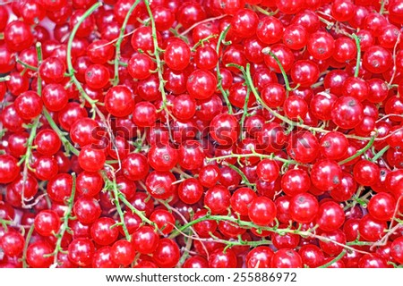 Ripe red currant close-up as background - stock photo