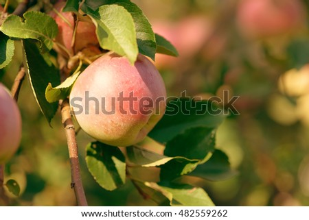 Ripe red, green and yellow apples with leaves on apple tree branch