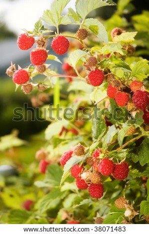 Ripe red raspberries growing in a patch.