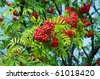Ripe red rowan berry - stock photo