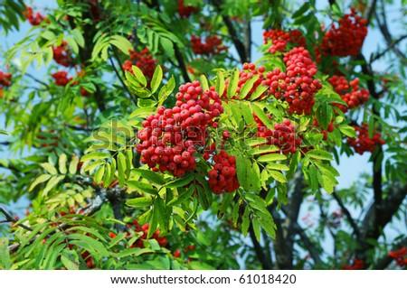 Ripe red rowan berry - stock photo