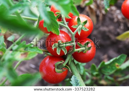 Ripe red tomatoes ready to pick in the garden outdoors close-up - stock photo