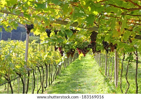 Ripe red wine Grapes in Trentino-Alto Adige, Italy - stock photo