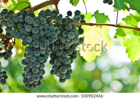 Ripe red wine grapes right before harvest in the summer sun - stock photo
