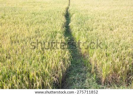 Ripe rice farm ready to harvest stage - stock photo