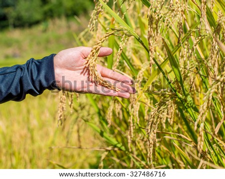 ripe rice ready to harvest in the country farmland - stock photo