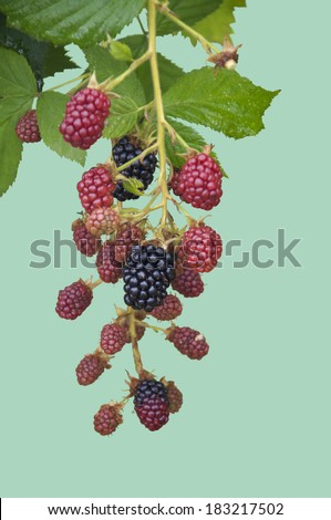Ripe, Ripening, and Unripe Blackberries Isolated - stock photo
