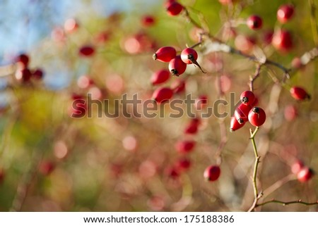 Ripe rose hip berries in autumn. Low DOF - stock photo