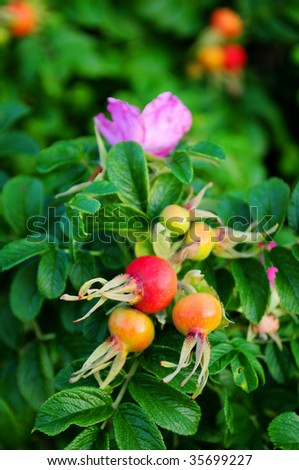 Ripe rose-hip fruit and flower on green bush - stock photo