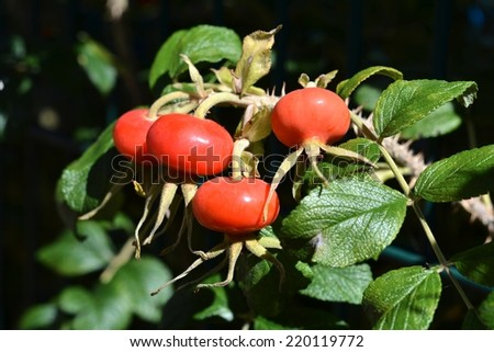 ripe rosehip on a bush in summer - stock photo