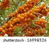 ripe sea buckthorn berries (Hippophae rhamnoides) - stock photo