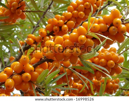 ripe sea buckthorn berries (Hippophae rhamnoides)
