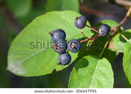 Ripe serviceberry on a bush macro, selective focus, shallow DOF - stock photo