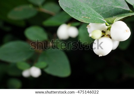 ripe snowberries