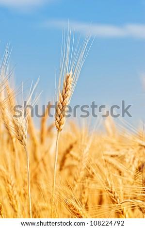 ripe spikes against an blue sky. Harvest - stock photo