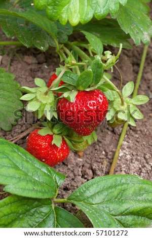 ripe strawberries in a garden - stock photo
