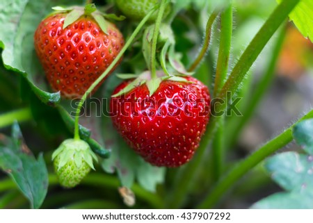 Ripe strawberries on a bush to the garden - stock photo