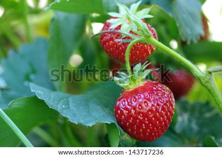 ripe strawberry fruits on the branch - stock photo