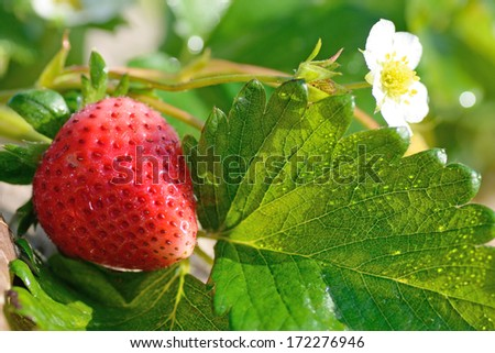 ripe strawberry in a stawbery tree in chaing rai thailand - stock photo