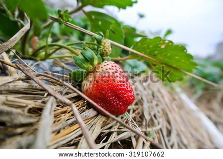 Ripe strawberry on vine at farm - stock photo