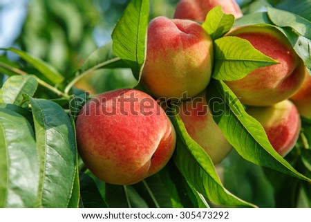 Ripe sweet peach fruits growing on a peach tree branch in orchard - stock photo