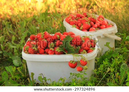 Ripe sweet strawberries in plastic basket on a green lawn. Outdoor. - stock photo