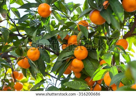 Ripe tangerines in the green foliage