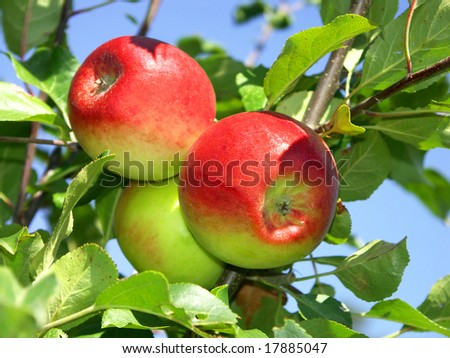 Ripe three apple on tree