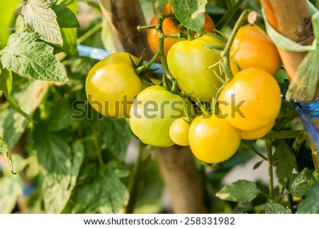 Ripe tomatoes are naturally - stock photo