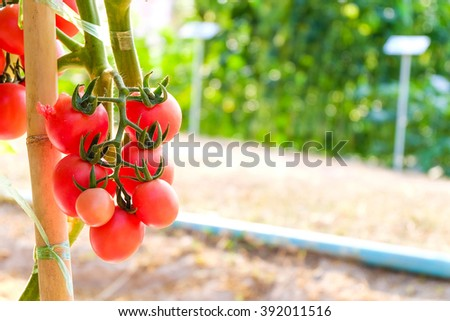 Ripe tomatoes growing on a branch In A Garden. - stock photo