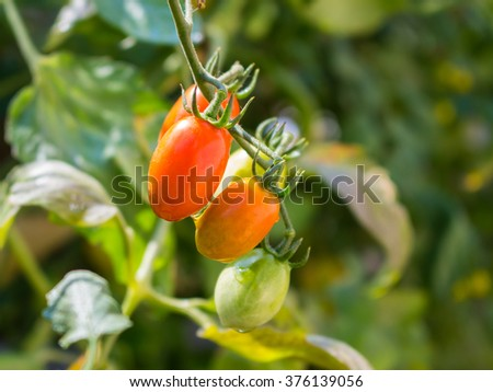 Ripe tomatoes growing on a branch in the garden